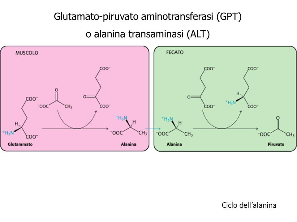 Ciclo dellalanina Glutamato-piruvato aminotransferasi (GPT) o alanina transaminasi (ALT)