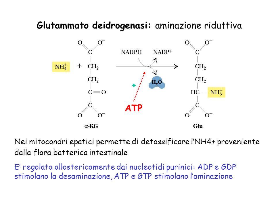 Glutammato deidrogenasi: aminazione riduttiva Nei mitocondri epatici permette di detossificare lNH4+ proveniente dalla flora batterica intestinale E regolata allostericamente dai nucleotidi purinici: ADP e GDP stimolano la desaminazione, ATP e GTP stimolano laminazione ATP +
