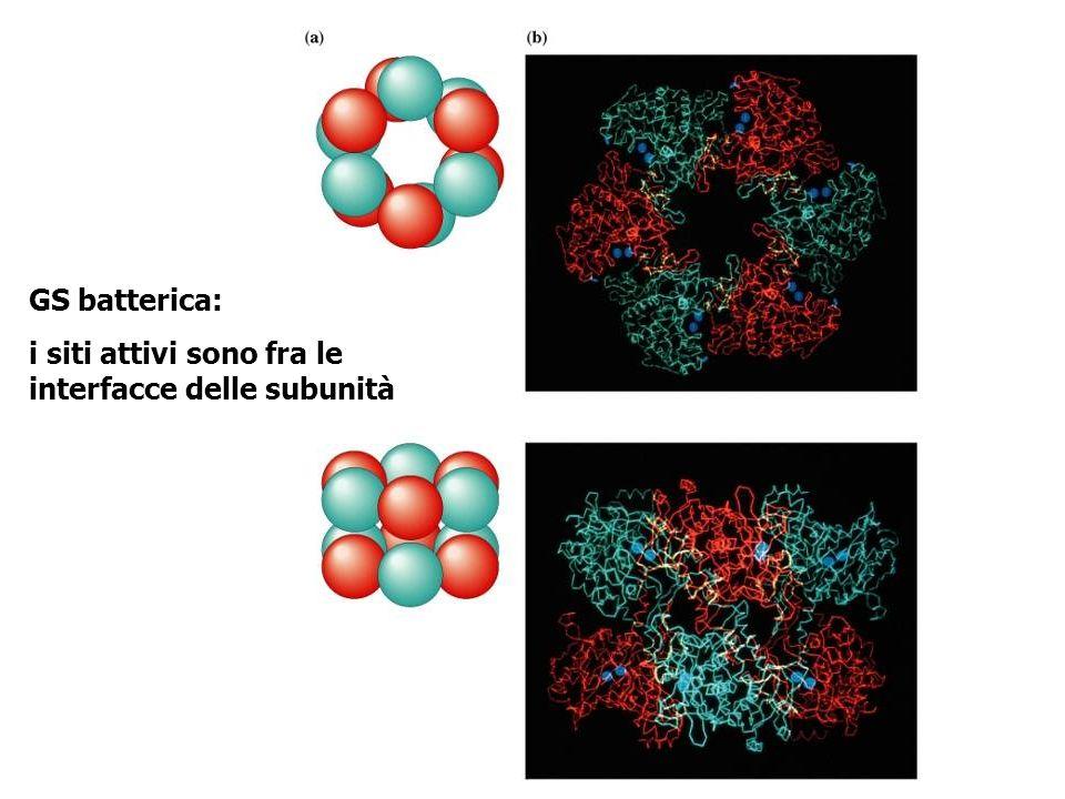 GS batterica: i siti attivi sono fra le interfacce delle subunità