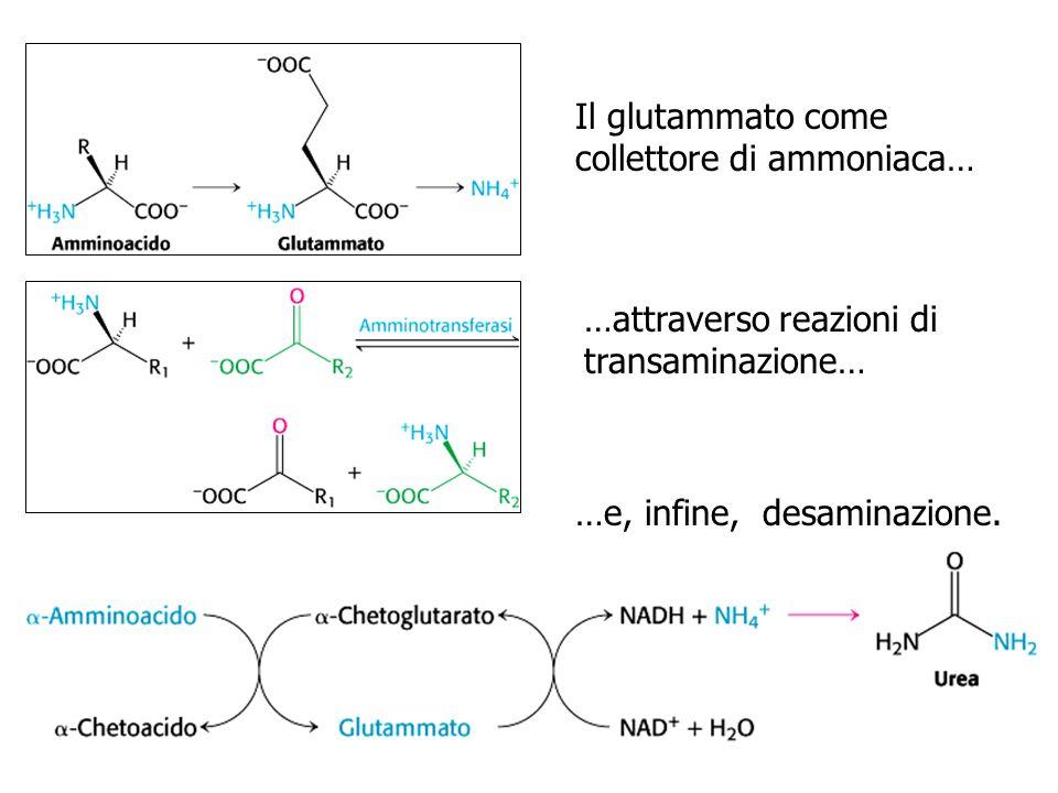 Il glutammato come collettore di ammoniaca… …attraverso reazioni di transaminazione… …e, infine, desaminazione.