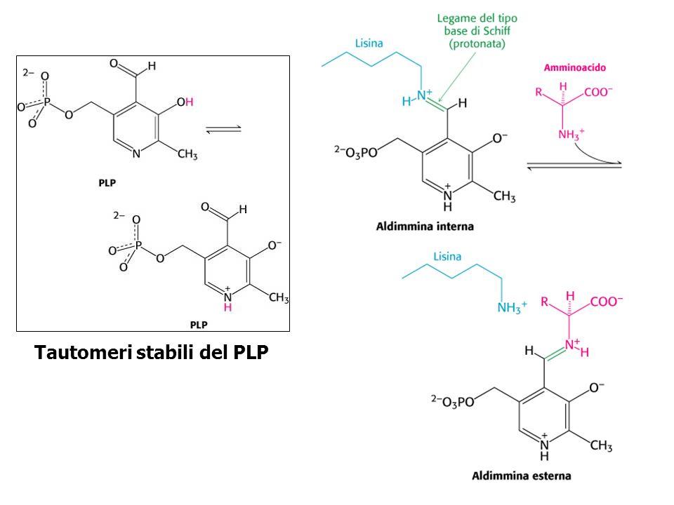 Meccanismo della transaminazione aldimmina Intermedio chinonico chetimmina Piridossamina fosfato