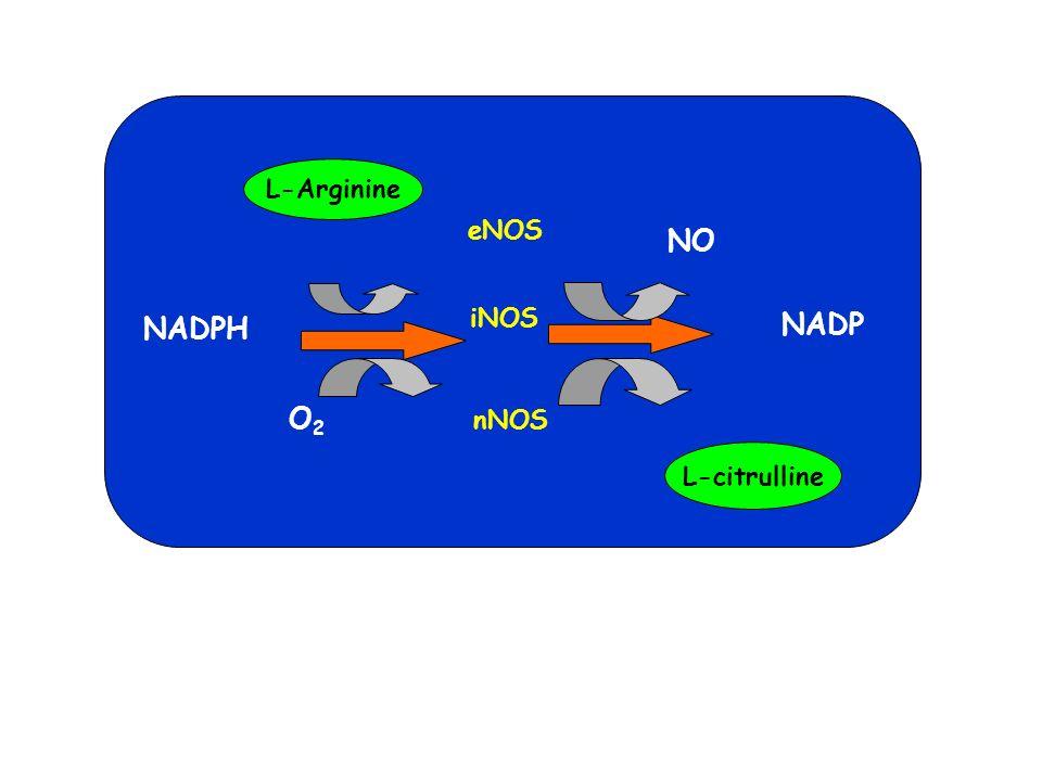 O 2 O2O2 O2-O2- UV H2O2H2O2 SOD H2OH2O Catalase Glutathione Peroxidase NO NOS ONOO - NO 2 - OH Biological Damage DISEASE CARCINOGENESIS AGING Arg DNA: oxidation DNA breakage PROTEINS: oxidation nitration deactivation LIPIDS: peroxidation