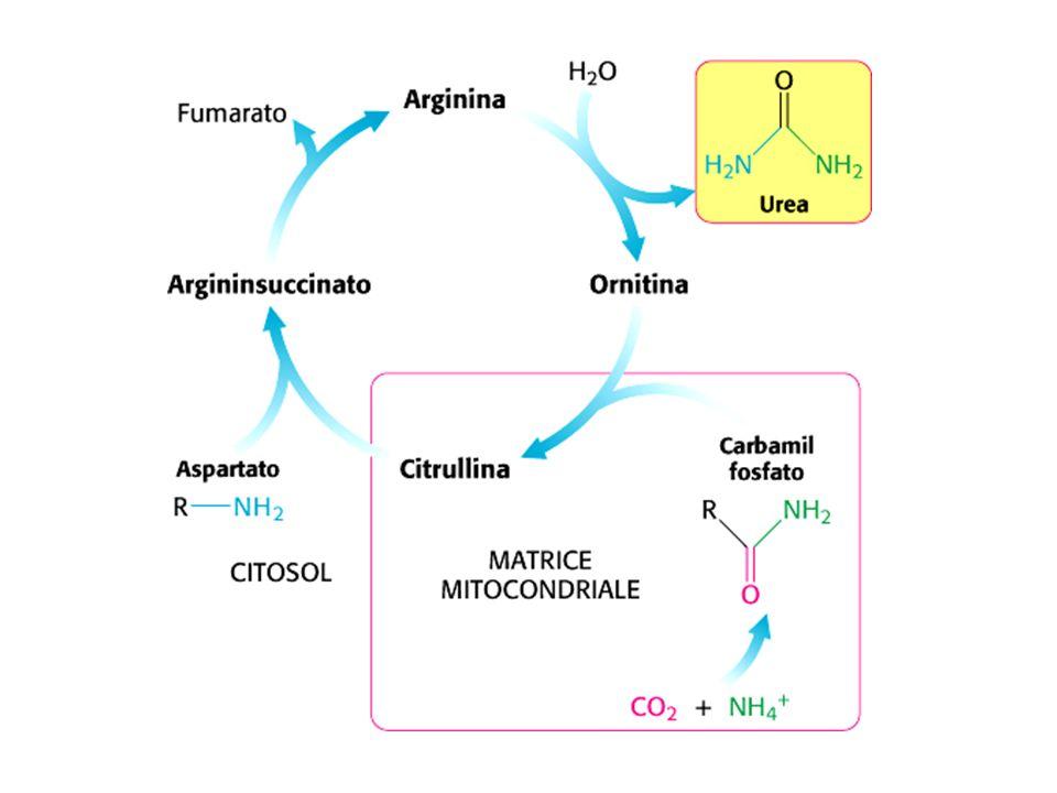 Trasportatore della citrullina Trasportatore dellornitina citrullina ornitina arginina argininosuccinato aspartato citrullil-AMP urea fumarato