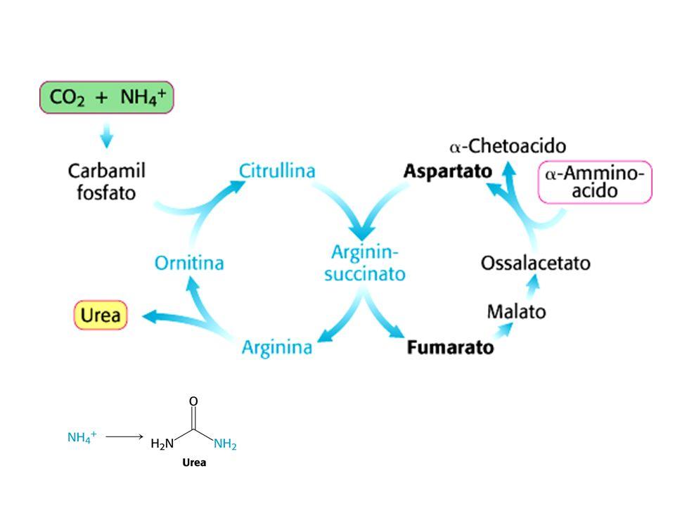 Carbamil-fosfato sintetasi I Lenzima è attivata da N-acetilglutammato, sintetizzato dalla sintasi specifica quando aumenta la concentrazione del glutammato, e anche da arginina.