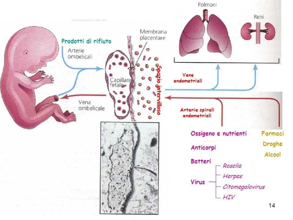 Spazio intervilloso Arterie spirali endometriali Vene endometriali Ossigeno e nutrienti Prodotti di rifiuto Anticorpi Batteri Virus Rosolia Herpes Cit