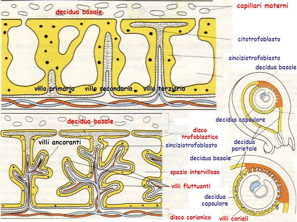 citotrofoblasto villo primario secondario villo secondario villo terziario sinciziotrofoblasto decidua basale capillari materni decidua basale disco t