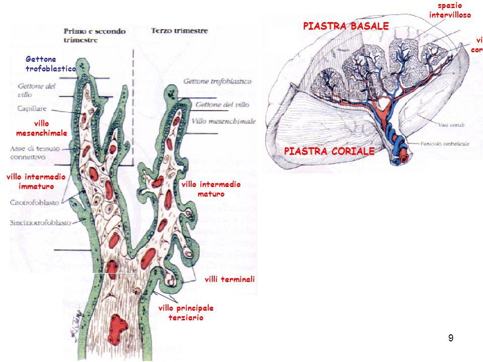 villo principale terziario villo mesenchimale Gettone trofoblastico villo intermedio immaturo villo intermedio maturo villi terminali villo coriale sp