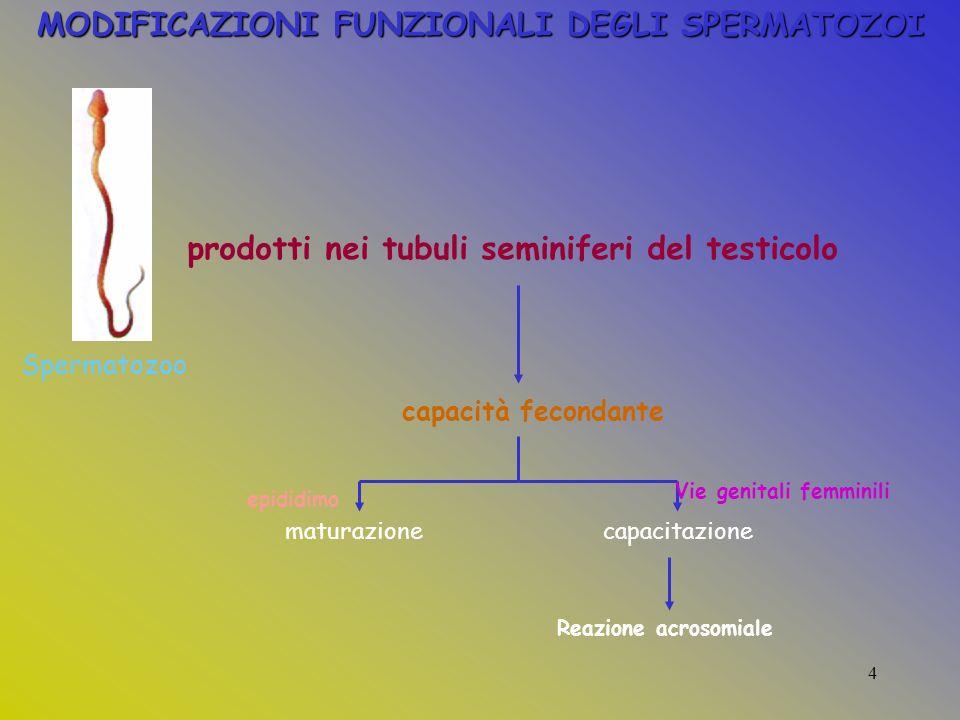 MODIFICAZIONI FUNZIONALI DEGLI SPERMATOZOI Spermatozoo prodotti nei tubuli seminiferi del testicolo capacità fecondante maturazionecapacitazione epididimo Vie genitali femminili Reazione acrosomiale 4
