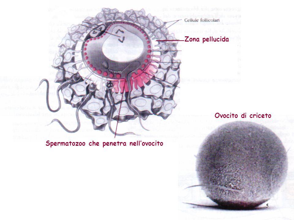 Spermatozoo che penetra nellovocito Zona pellucida Ovocito di criceto 5