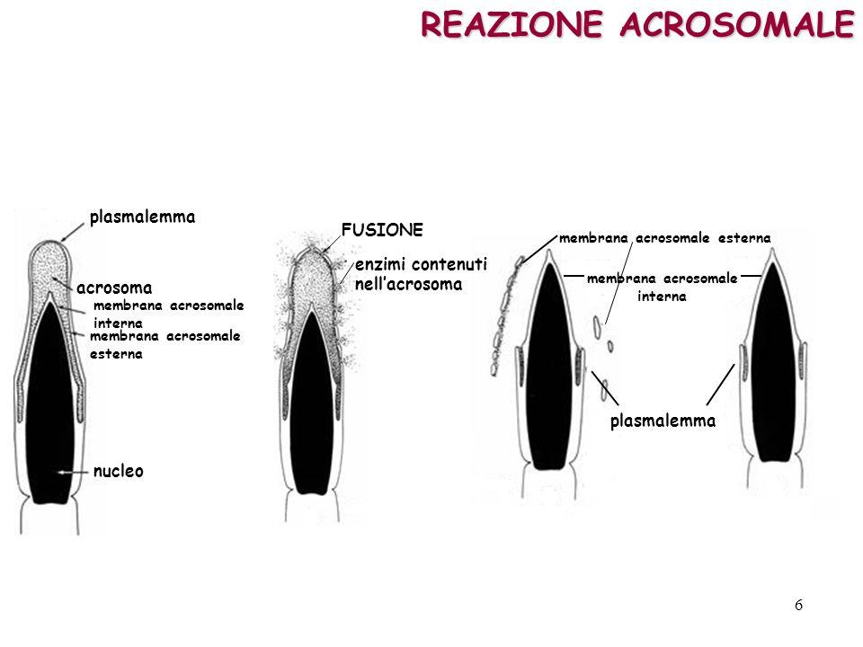 REAZIONE ACROSOMALE plasmalemma acrosoma membrana acrosomale interna membrana acrosomale esterna nucleo FUSIONE enzimi contenuti nellacrosoma membrana