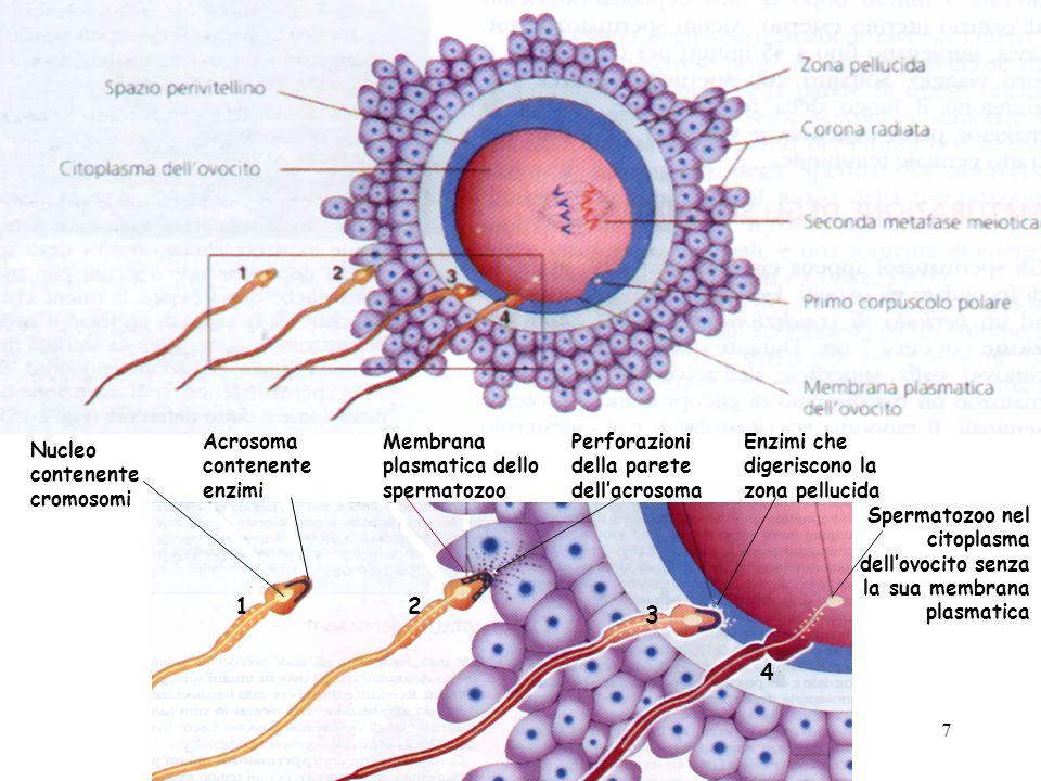 1 Nucleo contenente cromosomi Acrosoma contenente enzimi 2 Membrana plasmatica dello spermatozoo Perforazioni della parete dellacrosoma 3 Enzimi che digeriscono la zona pellucida 4 Spermatozoo nel citoplasma dellovocito senza la sua membrana plasmatica 7