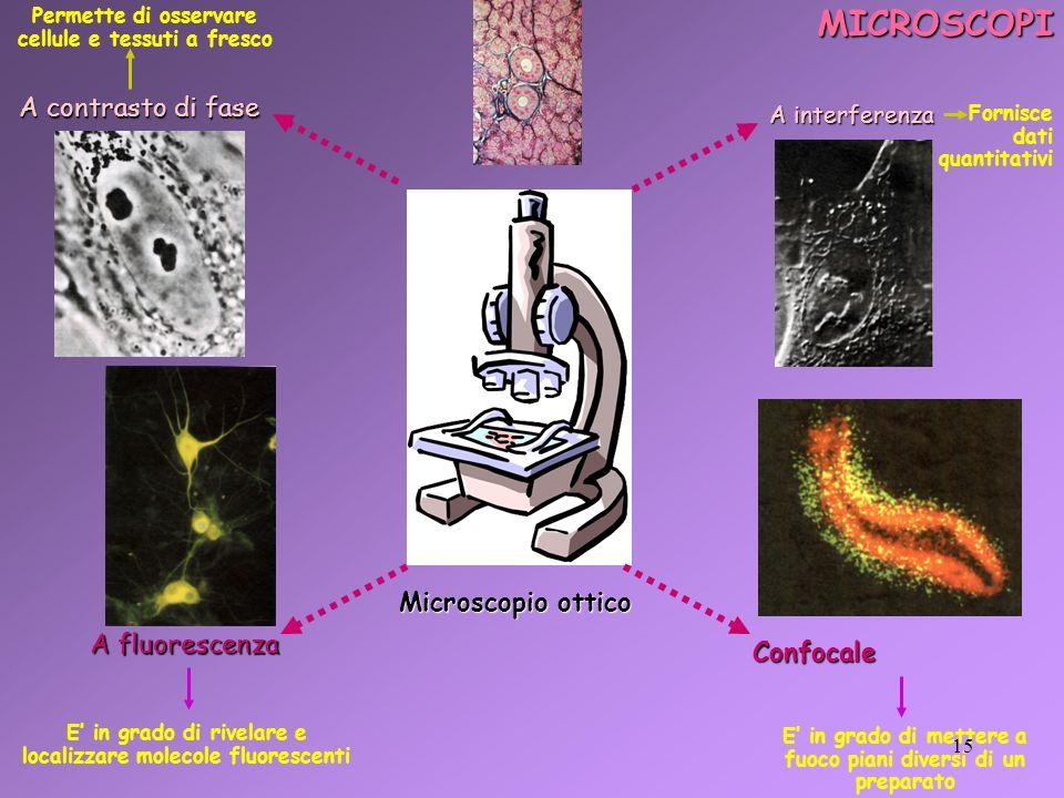 MICROSCOPI Microscopio ottico A contrasto di fase A contrasto di fase A interferenza A fluorescenza Confocale Permette di osservare cellule e tessuti