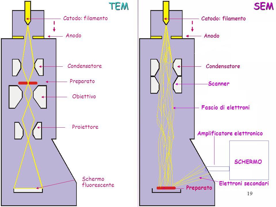 Catodo: filamento Anodo Condensatore Preparato Obiettivo Proiettore Schermo fluorescenteTEMSEM Preparato Amplificatore elettronico SCHERMO Scanner Fas