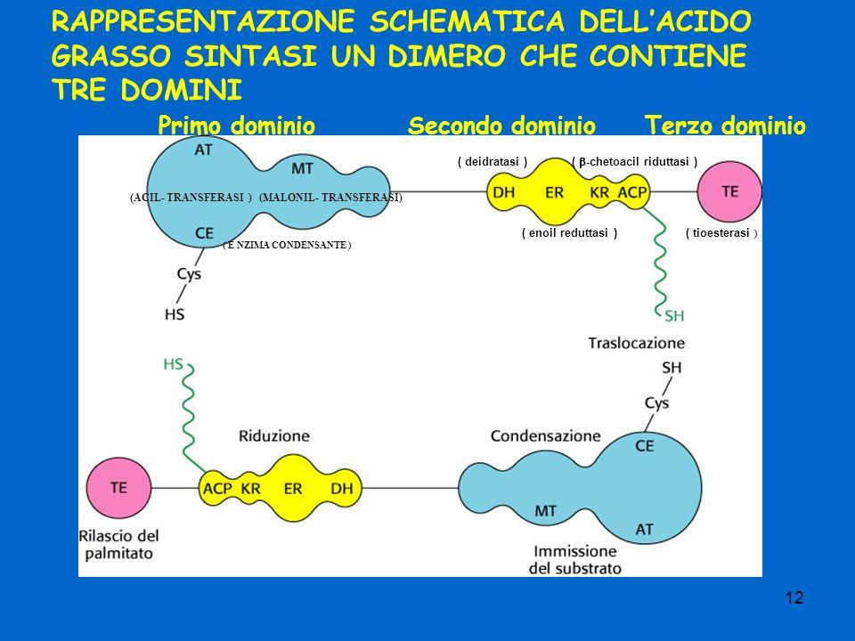 12 RAPPRESENTAZIONE SCHEMATICA DELLACIDO GRASSO SINTASI UN DIMERO CHE CONTIENE TRE DOMINI ( ACIL- TRANSFERASI ) (MALONIL- TRANSFERASI) ( E NZIMA CONDENSANTE ) Primo dominioSecondo dominioTerzo dominio ( tioesterasi ) ( -chetoacil riduttasi ) ( enoil reduttasi ) ( deidratasi )