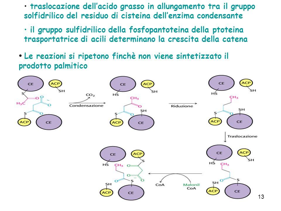 13 traslocazione dellacido grasso in allungamento tra il gruppo solfidrilico del residuo di cisteina dellenzima condensante il gruppo sulfidrilico della fosfopantoteina della ptoteina trasportatrice di acili determinano la crescita della catena Le reazioni si ripetono finchè non viene sintetizzato il prodotto palmitico
