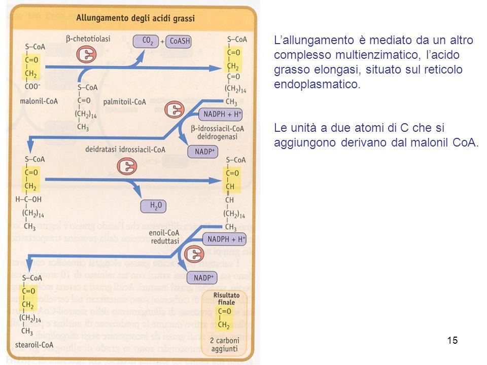 15 Lallungamento è mediato da un altro complesso multienzimatico, lacido grasso elongasi, situato sul reticolo endoplasmatico.