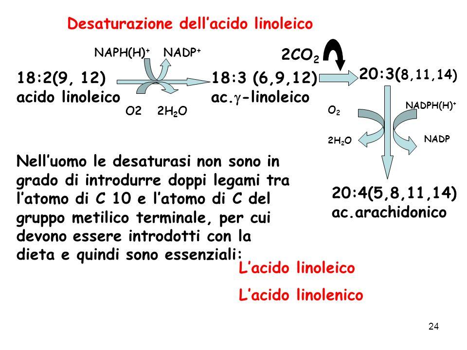 24 Desaturazione dellacido linoleico 18:2(9, 12) acido linoleico 18:3 (6,9,12) ac.