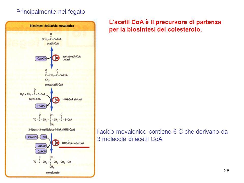 28 Lacetil CoA è il precursore di partenza per la biosintesi del colesterolo.