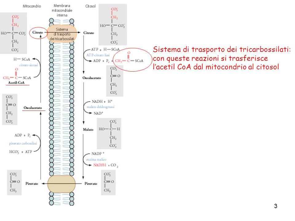 3 Sistema di trasporto dei tricarbossilati: con queste reazioni si trasferisce lacetil CoA dal mitocondrio al citosol