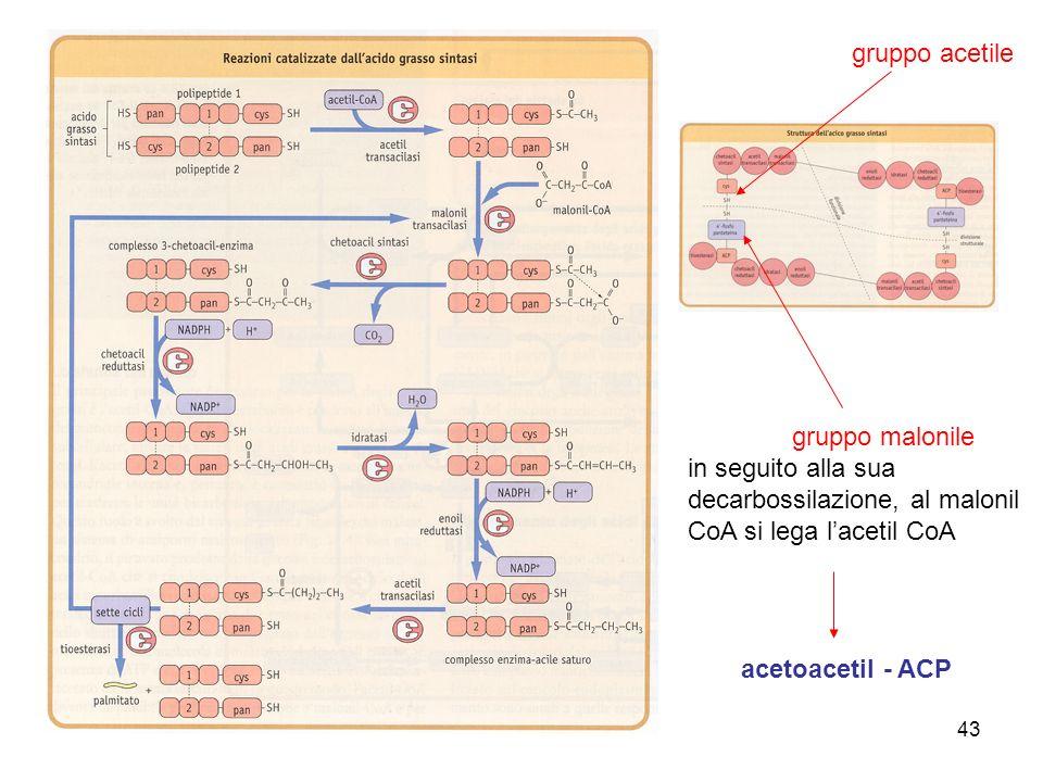 43 gruppo malonile in seguito alla sua decarbossilazione, al malonil CoA si lega lacetil CoA gruppo acetile acetoacetil - ACP
