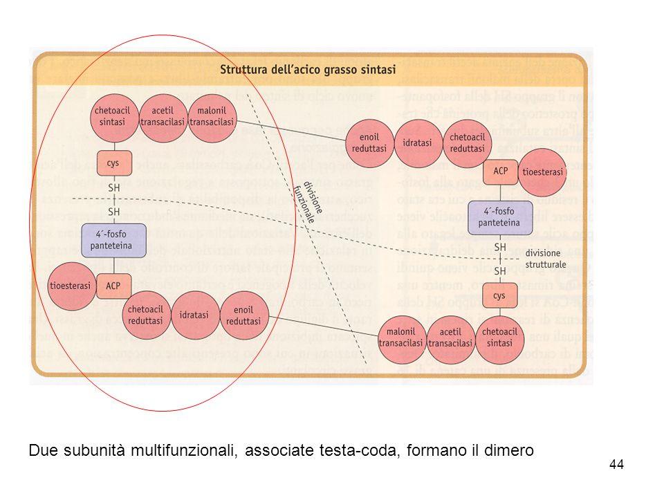 44 Due subunità multifunzionali, associate testa-coda, formano il dimero