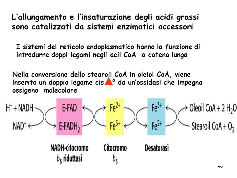 48 Lallungamento e linsaturazione degli acidi grassi sono catalizzati da sistemi enzimatici accessori I sistemi del reticolo endoplasmatico hanno la funzione di introdurre doppi legami negli acil CoA a catena lunga Nella conversione dello stearoil CoA in oleiol CoA, viene inserito un doppio legame cis 9 da unossidasi che impegna ossigeno molecolare