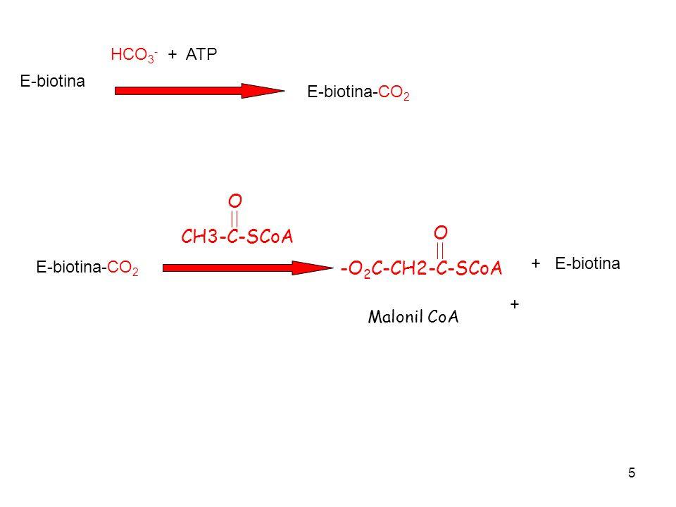 5 HCO 3 - + ATP E-biotina E-biotina-CO 2 CH3-C-SCoA O + -O 2 C-CH2-C-SCoA O + E-biotina Malonil CoA