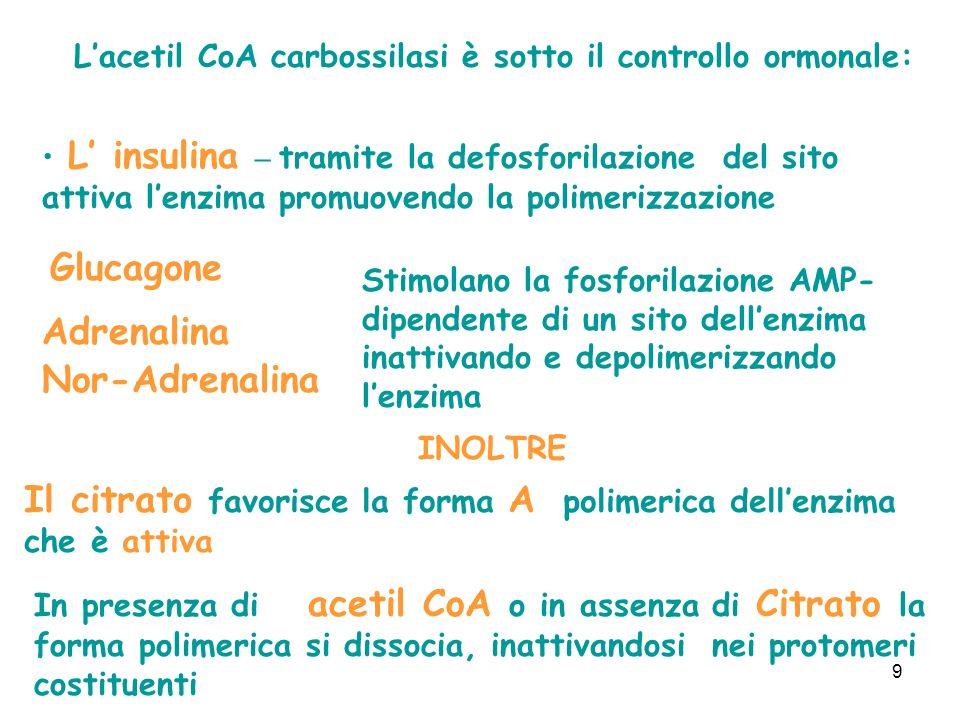 9 Lacetil CoA carbossilasi è sotto il controllo ormonale: L insulina – tramite la defosforilazione del sito attiva lenzima promuovendo la polimerizzazione Glucagone Adrenalina Nor-Adrenalina Stimolano la fosforilazione AMP- dipendente di un sito dellenzima inattivando e depolimerizzando lenzima INOLTRE Il citrato favorisce la forma A polimerica dellenzima che è attiva In presenza di acetil CoA o in assenza di Citrato la forma polimerica si dissocia, inattivandosi nei protomeri costituenti