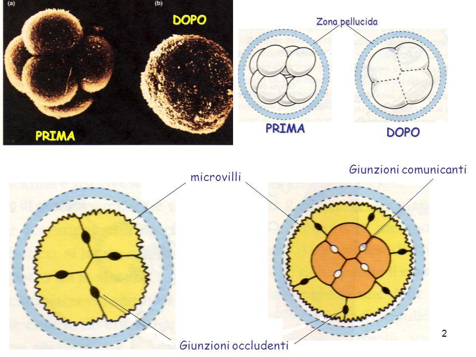 PRIMA DOPO PRIMA DOPO Zona pellucida microvilli Giunzioni occludenti Giunzioni comunicanti 2