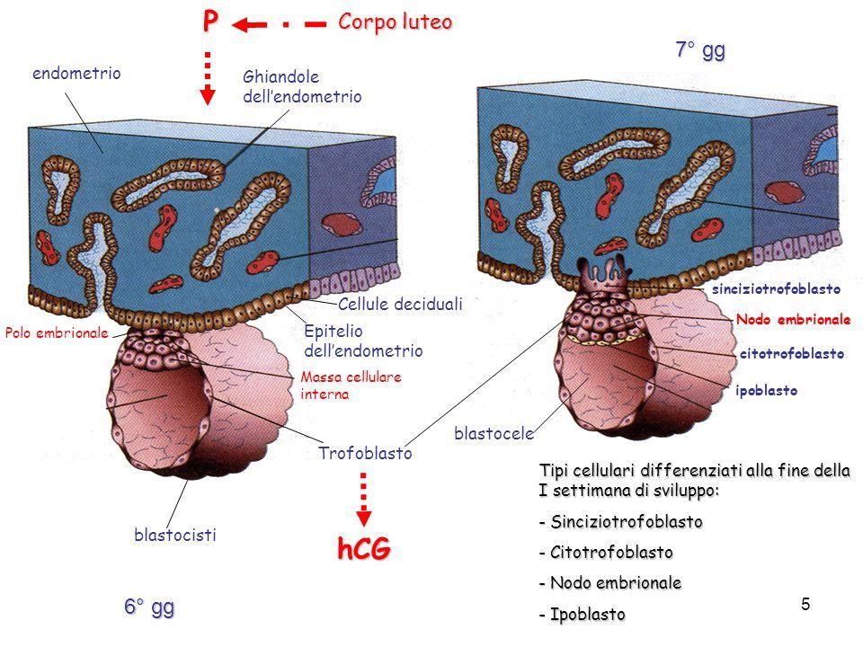 blastocisti endometrio Epitelio dellendometrio Polo embrionale Massa cellulare internaP Cellule deciduali Ghiandole dellendometrio Corpo luteo Trofoblasto hCG sinciziotrofoblasto citotrofoblasto blastocele ipoblasto Tipi cellulari differenziati alla fine della I settimana di sviluppo: - Sinciziotrofoblasto - Citotrofoblasto - Nodo embrionale - Ipoblasto Nodo embrionale 6° gg 7° gg 5