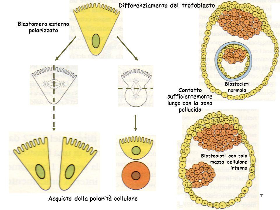 Blastomero esterno polarizzato Blastocisti normale Blastocisti con solo massa cellulare interna Differenziamento del trofoblasto Acquisto della polarità cellulare Contatto sufficientemente lungo con la zona pellucida 7