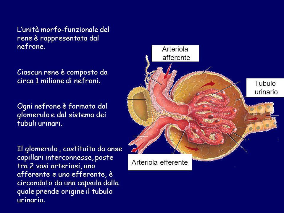 Lunità morfo-funzionale del rene è rappresentata dal nefrone.