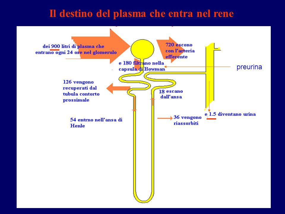 Il destino del plasma che entra nel rene preurina