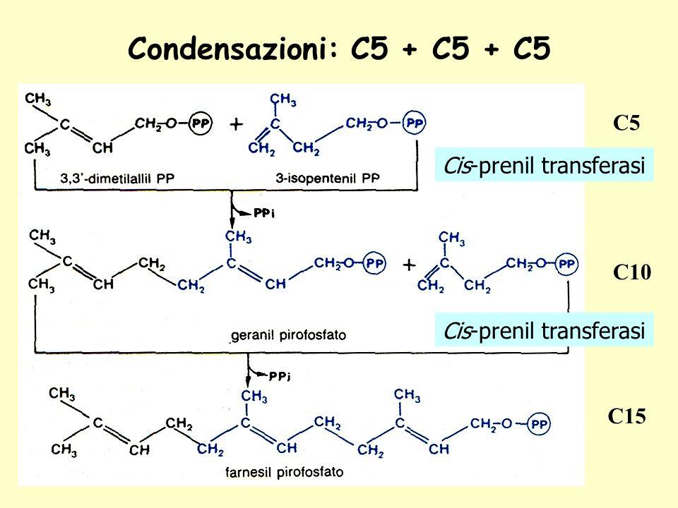 Condensazioni: C5 + C5 + C5 C5 C10 C15 Cis-prenil transferasi