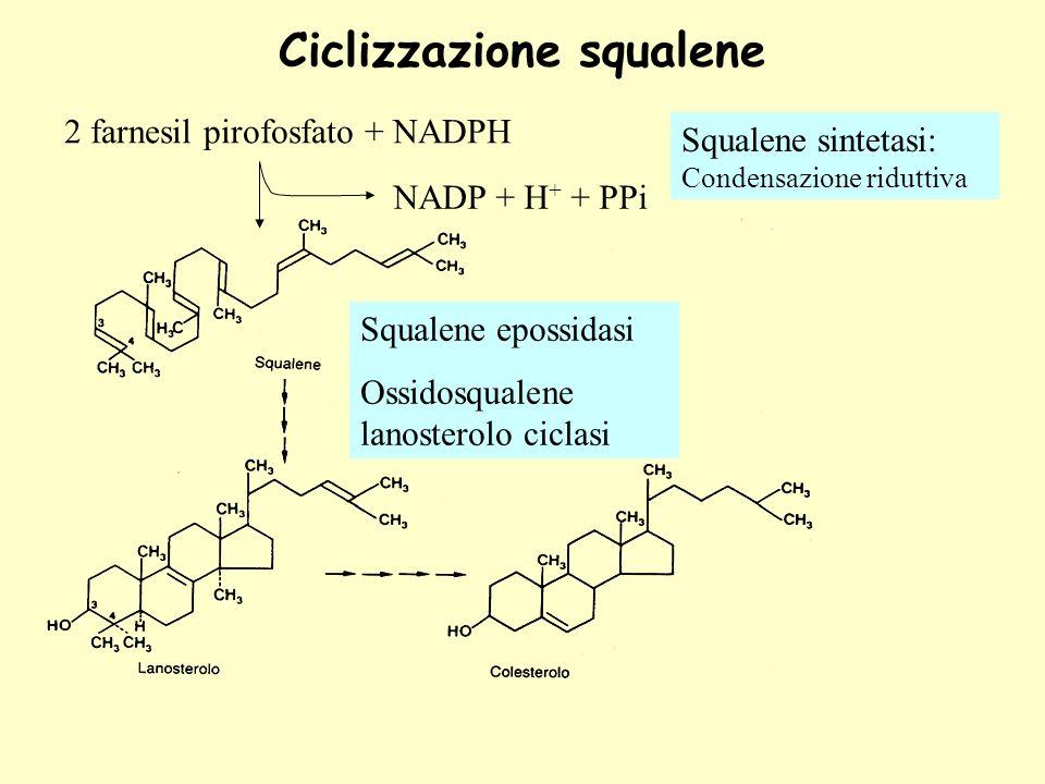Ciclizzazione squalene 2 farnesil pirofosfato + NADPH NADP + H + + PPi Squalene sintetasi: Condensazione riduttiva Squalene epossidasi Ossidosqualene