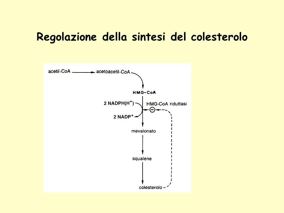 Regolazione della sintesi del colesterolo