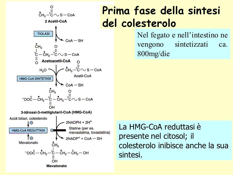 Prima fase della sintesi del colesterolo La HMG-CoA reduttasi è presente nel citosol; il colesterolo inibisce anche la sua sintesi. Nel fegato e nelli