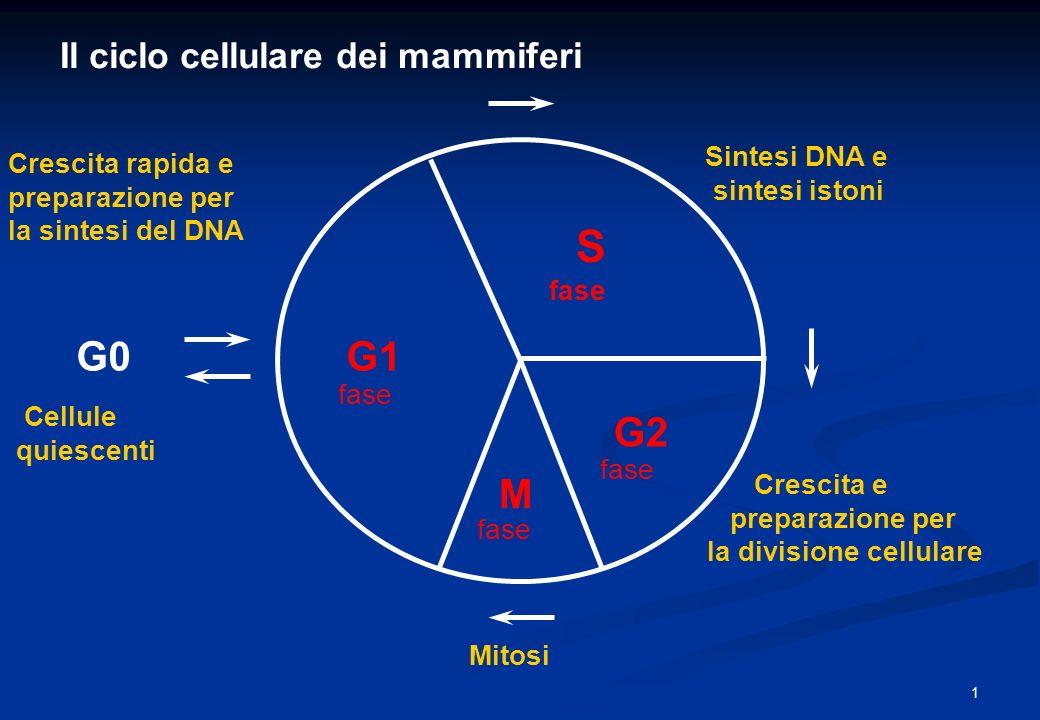Il ciclo cellulare dei mammiferi G1 S G2 M G0 Sintesi DNA e sintesi istoni Crescita e preparazione per la divisione cellulare Crescita rapida e prepar