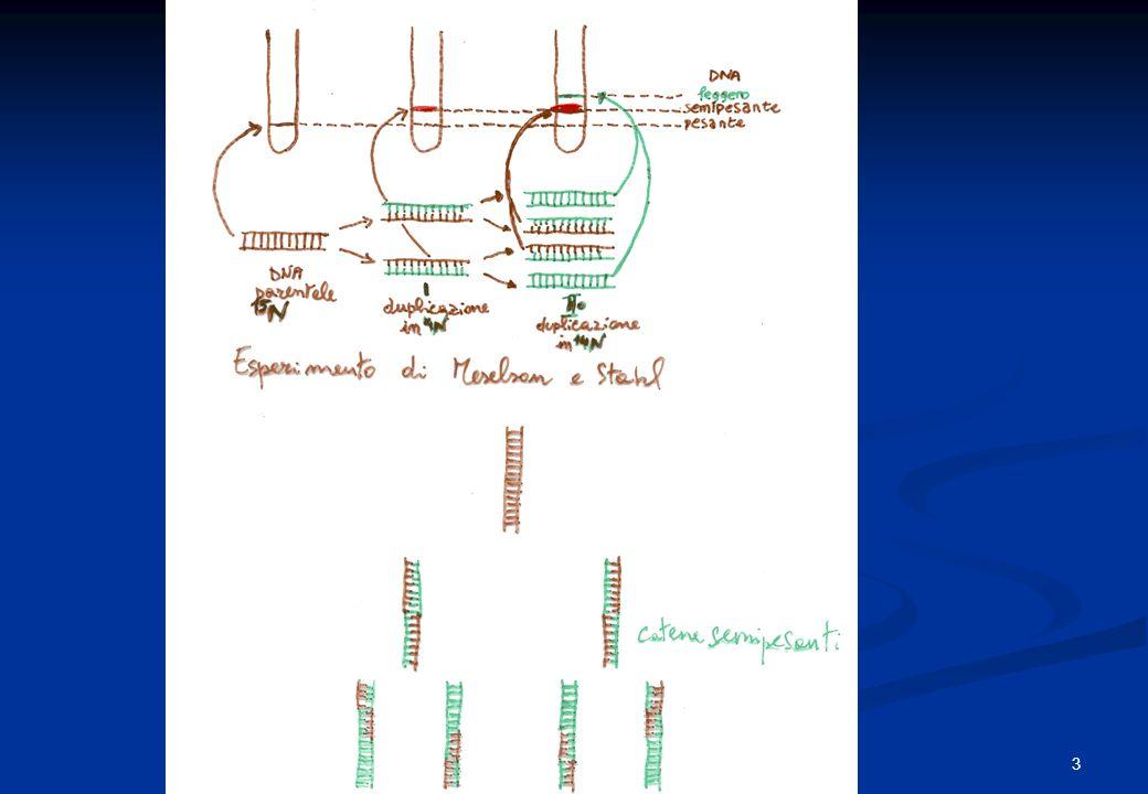 Replicazione del DNA è semi-conservativa Filamenti di DNA parentali Filamenti di DNA figli Ogni filamento parentale serve da stampo per un filamento figlio 4