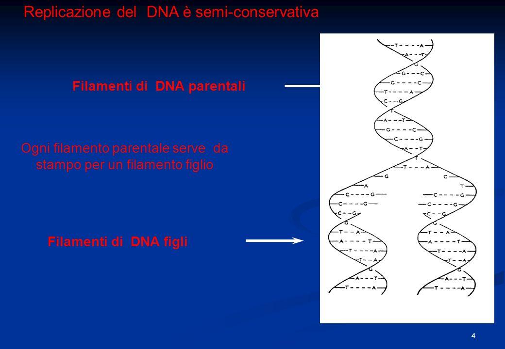 Replicazione del DNA è semi-conservativa Filamenti di DNA parentali Filamenti di DNA figli Ogni filamento parentale serve da stampo per un filamento f