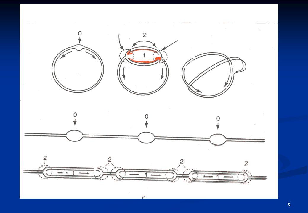 origini di replicazione del DNA (ogni ~150kb) bolla replicazione cromosomi figli fusione di bolle replicazione bidirezionale Origini di replicazione del DNA in cromosomi di mammiferi 5353 3535 5353 3535 3535 5353 6