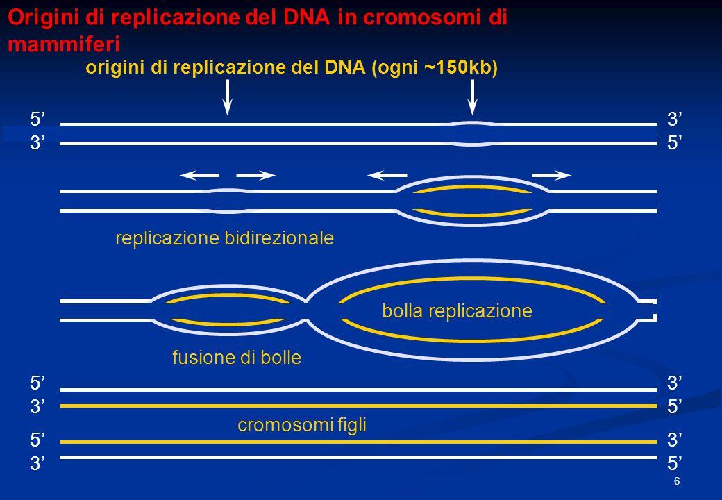 origini di replicazione del DNA (ogni ~150kb) bolla replicazione cromosomi figli fusione di bolle replicazione bidirezionale Origini di replicazione d