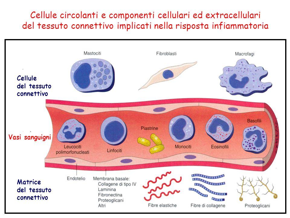 Cellule circolanti e componenti cellulari ed extracellulari del tessuto connettivo implicati nella risposta infiammatoria Cellule del tessuto connettivo Vasi sanguigni Matrice del tessuto connettivo