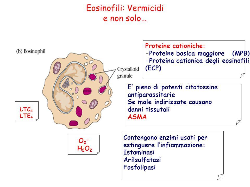 Eosinofili: Vermicidi e non solo… O2- H2O2O2- H2O2 Proteine cationiche: -Proteine basica maggiore (MPB) -Proteina cationica degli eosinofili (ECP) LTC 4 LTE 4 E pieno di potenti citotossine antiparassitarie Se male indirizzate causano danni tissutali ASMA Contengono enzimi usati per estinguere linfiammazione: Istaminasi Arilsulfatasi Fosfolipasi