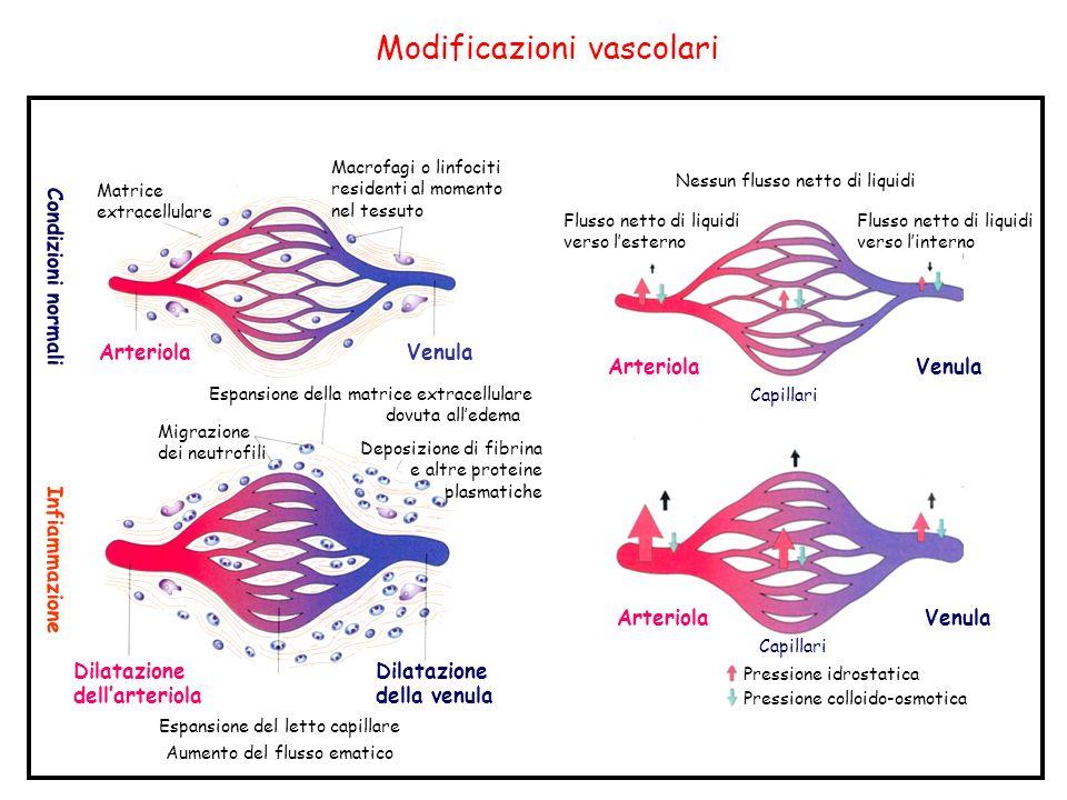 Modificazioni vascolari Condizioni normali Infiammazione Matrice extracellulare Arteriola Macrofagi o linfociti residenti al momento nel tessuto Venula Migrazione dei neutrofili Dilatazione dellarteriola Espansione del letto capillare Aumento del flusso ematico Espansione della matrice extracellulare dovuta alledema Deposizione di fibrina e altre proteine plasmatiche Dilatazione della venula Flusso netto di liquidi verso lesterno Nessun flusso netto di liquidi Flusso netto di liquidi verso linterno Capillari Pressione idrostatica Pressione colloido-osmotica ArteriolaVenula Capillari ArteriolaVenula