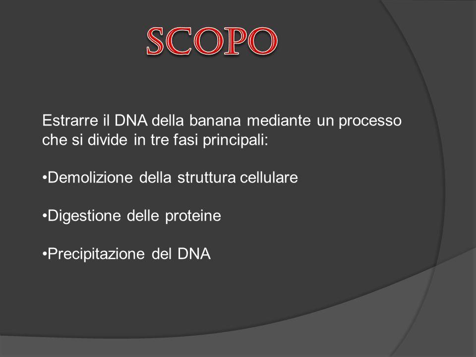 Estrarre il DNA della banana mediante un processo che si divide in tre fasi principali: Demolizione della struttura cellulare Digestione delle protein