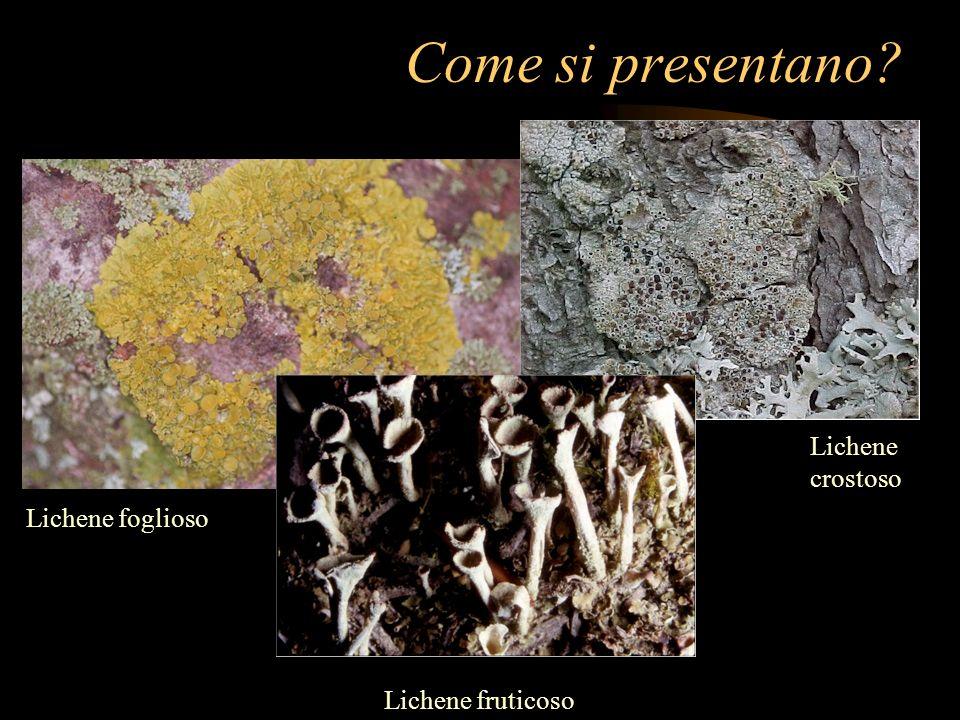 Come si presentano? Lichene foglioso Lichene fruticoso Lichene crostoso