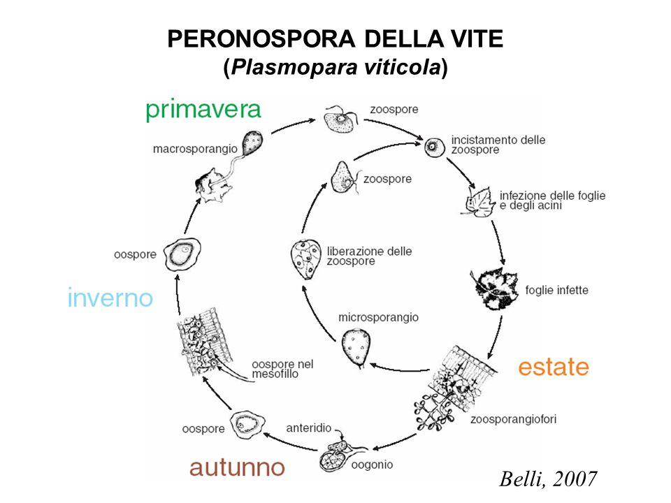 PERONOSPORA DELLA VITE (Plasmopara viticola) Belli, 2007