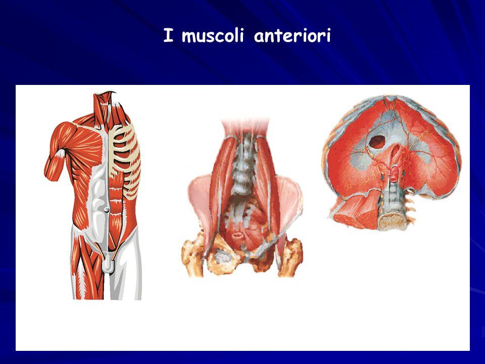 I muscoli anteriori