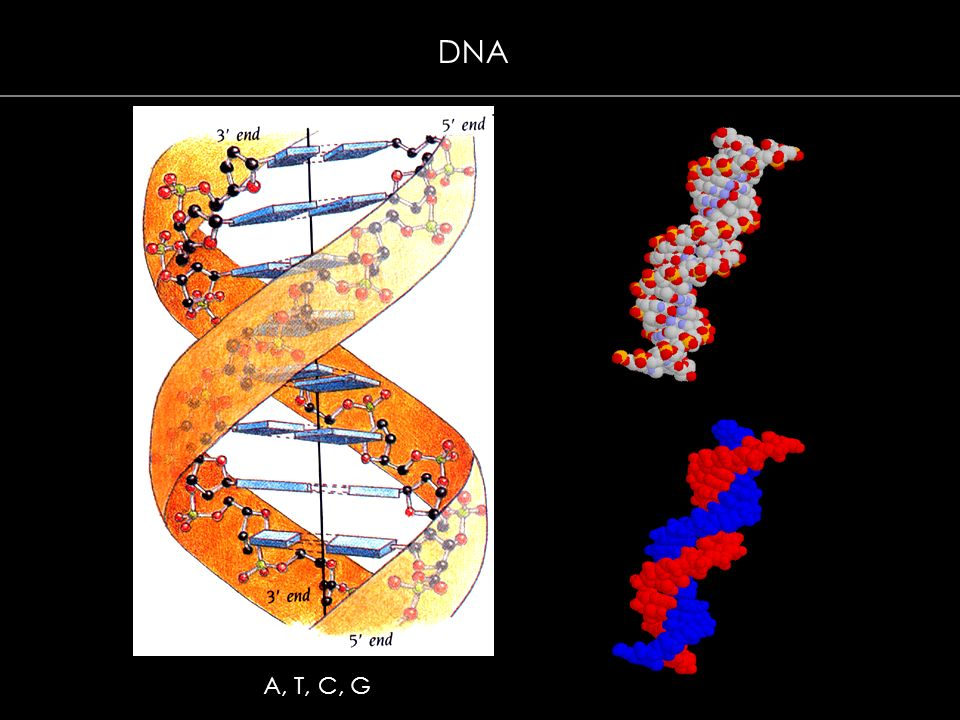 DNA A, T, C, G